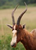 Blesbok antelope Stock Image