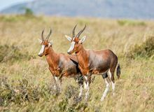 Blesbok Antelope. Blesbok in Southern African savanna Stock Photos