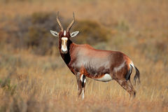 Blesbok antelope Royalty Free Stock Photos