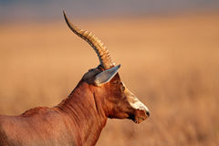 Blesbok antelope Stock Photography