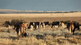 Blesbok antelopes and wildebeest grazing Stock Images