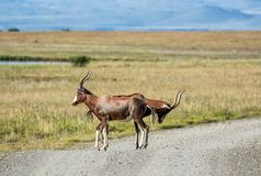 Blesbok Antilope Lizenzfreie Stockfotos