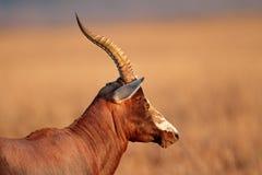 Blesbok-Antilope Stockfotografie