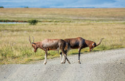 Blesbok Antilope Lizenzfreie Stockfotografie