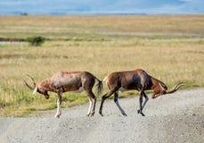 Blesbok Antilope Lizenzfreie Stockbilder
