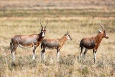 Blesbok Antilope Stockbilder