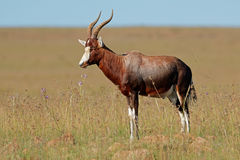 Blesbok-Antilope in der Wiese Stockfotos
