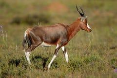 Blesbok-Antilope im natürlichen Lebensraum Stockfotografie