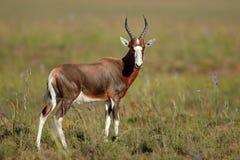 Blesbok-Antilope im natürlichen Lebensraum Stockbilder