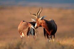 Blesbok-Antilopen Lizenzfreie Stockfotografie