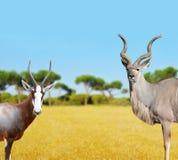 Blesbok-Antilopen und größeres Kudu Lizenzfreies Stockfoto