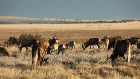 Blesbok antylopy i wildebeest pasanie zdjęcie wideo