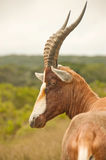 Blesbok or Blesbuck Royalty Free Stock Photography
