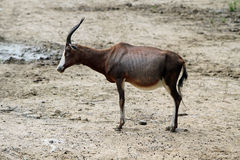 The blesbok. Or blesbuck (Damaliscus pygargus phillipsi) is an antelope endemic to South Africa Royalty Free Stock Photos