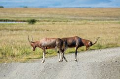Blesbok Antelope. Blesbok blocking a dirt road in Southern African savanna Stock Photo