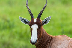 Blesbok Buck Close Wildlife  Stock Photos