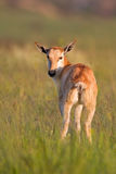 Blesbok calf in grass Stock Photo