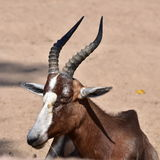 Blesbok Royalty Free Stock Photography