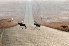 Blesbok Crossing Road. A few silhouetted blesbok native to southern africa crossing a tarred road in an isolated warm dry grassland and mountainous setting Royalty Free Stock Image