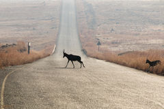 Blesbok Crossing Road Stock Images