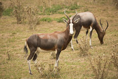 Blesbok, Damaliscus dorcas phillipsi, is threatened with extinction in the wild Royalty Free Stock Photos