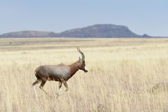 Blesbok running on savanna stock images