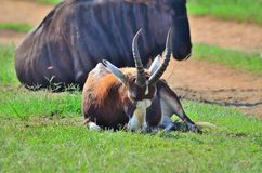 Blesbok, das in der Wiese in Afrika schläft Lizenzfreie Stockbilder