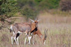 Blesbok fêmea e masculino Foto de Stock Royalty Free