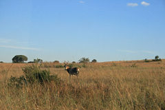 BLESBOK ON GRASSLAND. Blesbuck standing in grassland in winter Royalty Free Stock Photo