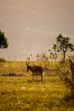 Blesbok in Grassland of Swaziland, Mlilwane Wildlife Sanctuary Royalty Free Stock Photos