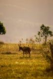 Blesbok in Grassland of Swaziland, Mlilwane Wildlife Sanctuary royalty free stock photos