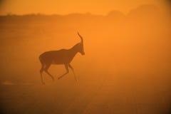Blesbok - Hintergrund der wild lebenden Tiere - der goldene Lauf Stockfotografie