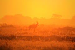 Blesbok - Hintergrund der wild lebenden Tiere - goldener Horizont Stockfotos