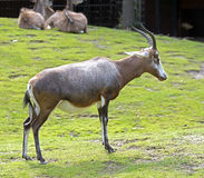 Blesbok 1 Stock Photography