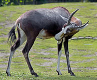 Blesbok 2 Stock Photo