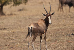 Blesbok looking Stock Image