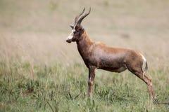 Blesbok male standing on open grass plain Stock Photography