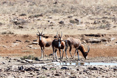 Blesbok - Meeting up for a drink at the dam Royalty Free Stock Photography