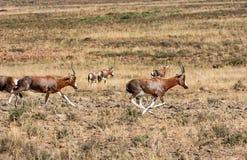 Blesbok antelope royalty free stock image
