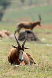 Blesbok. A blesbok of South Africa resting Stock Photography