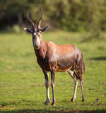 Blesbok Royalty Free Stock Photo