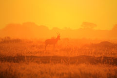 Blesbok - Wildlife Background - Golden Horizon Stock Photos