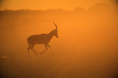Blesbok - Wildlife Background - The Golden Run Stock Photography