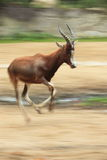 Blesbuck. The running adult blesbuck (Damaliscus pygargus phillips Royalty Free Stock Image