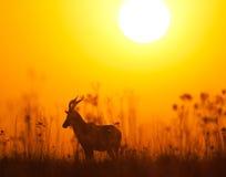 Blesbuck bei Sonnenaufgang Lizenzfreies Stockbild