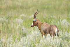 Blesbuck in green veld Royalty Free Stock Photos