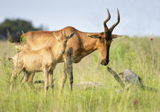 Blesbuck in green veld with youngster Stock Images