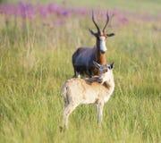 Blesbuck-Kalb, das über Schulter schaut Lizenzfreie Stockfotos