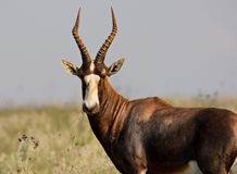 Blesbuck Ram Royalty Free Stock Image