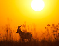 Blesbuck at sunrise. A lone Blesbuck in Rietvlei nature reserve silhoutted by a warm orange sunrise Royalty Free Stock Image